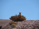 Von San Pedro de Atacama nach Iquique_3